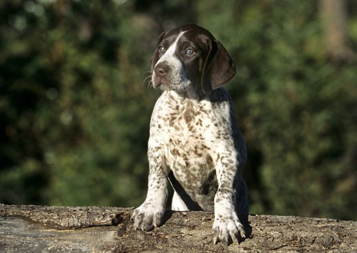 German Shorthaired Pointer puppy leaning on a log : Stock Photo