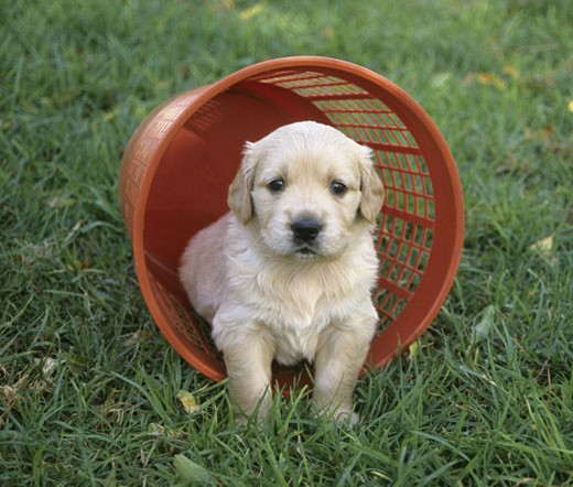 Golden Retriever puppy in a basket : Stock Photo