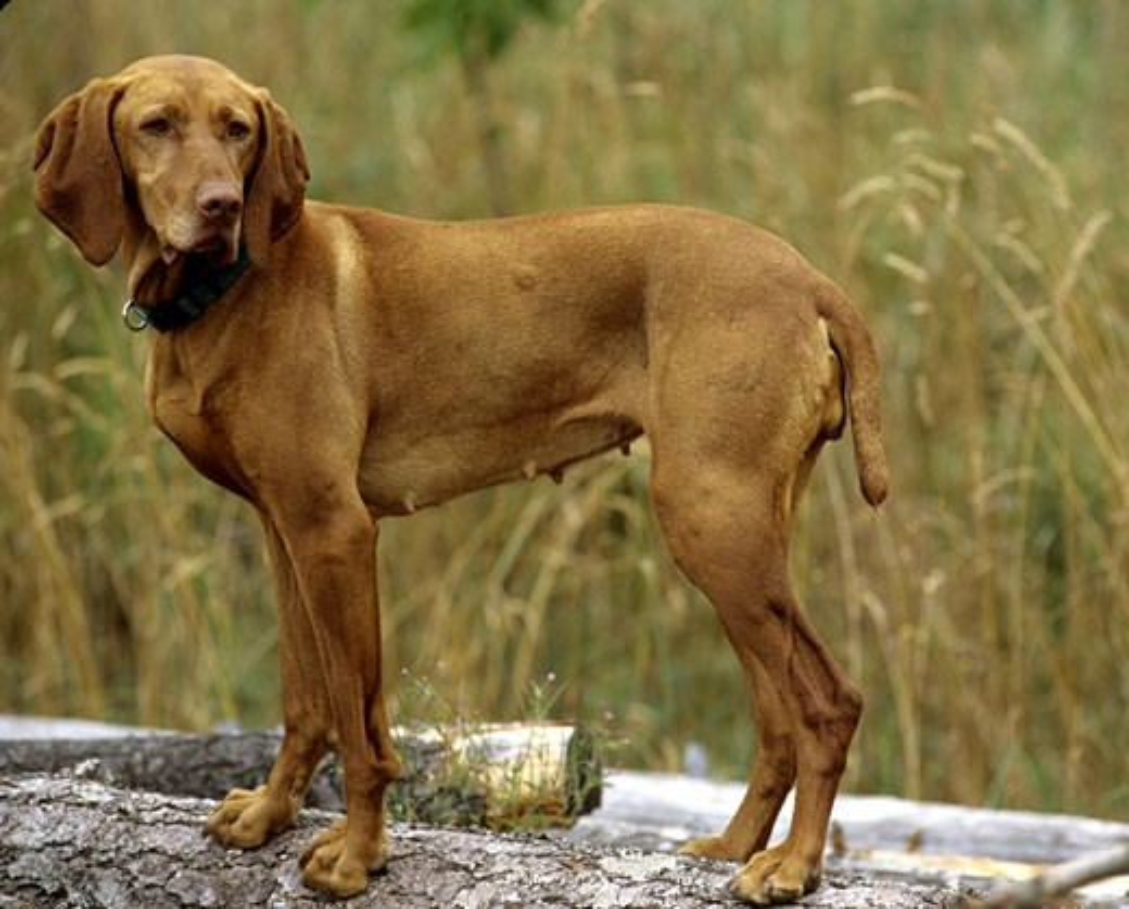 Stock Photo: 662-1863 Vizsla dog standing on a log