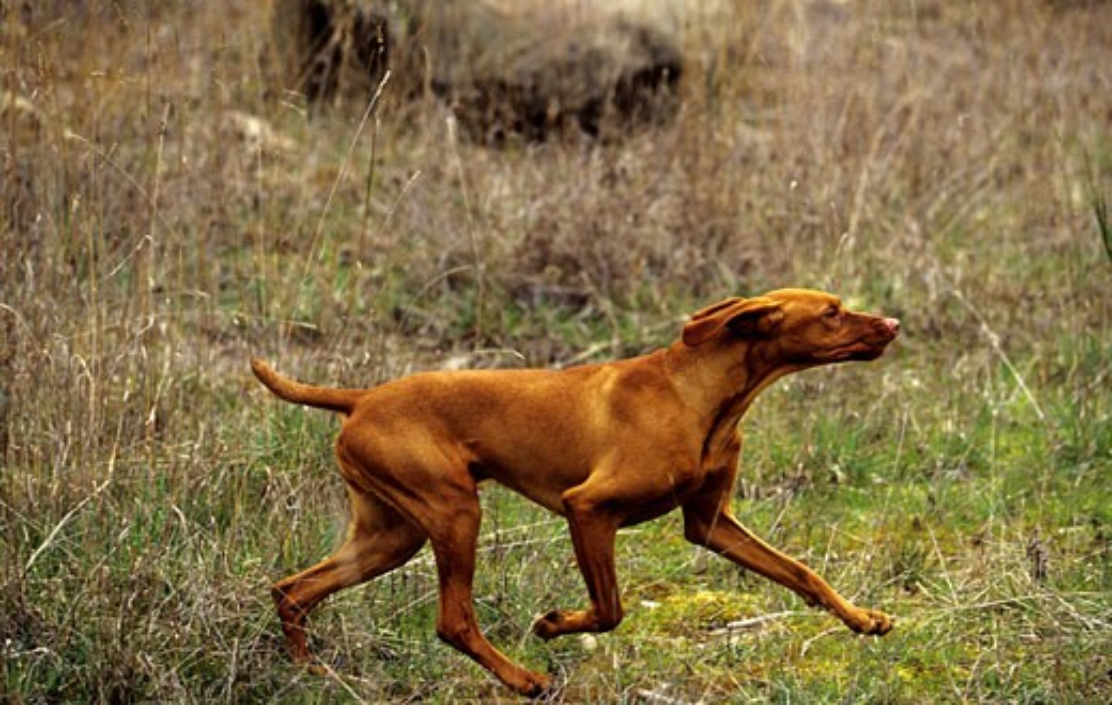 Stock Photo: 662-1866 Vizsla dog running in a field