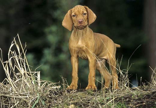 Vizsla puppy standing in a field : Stock Photo