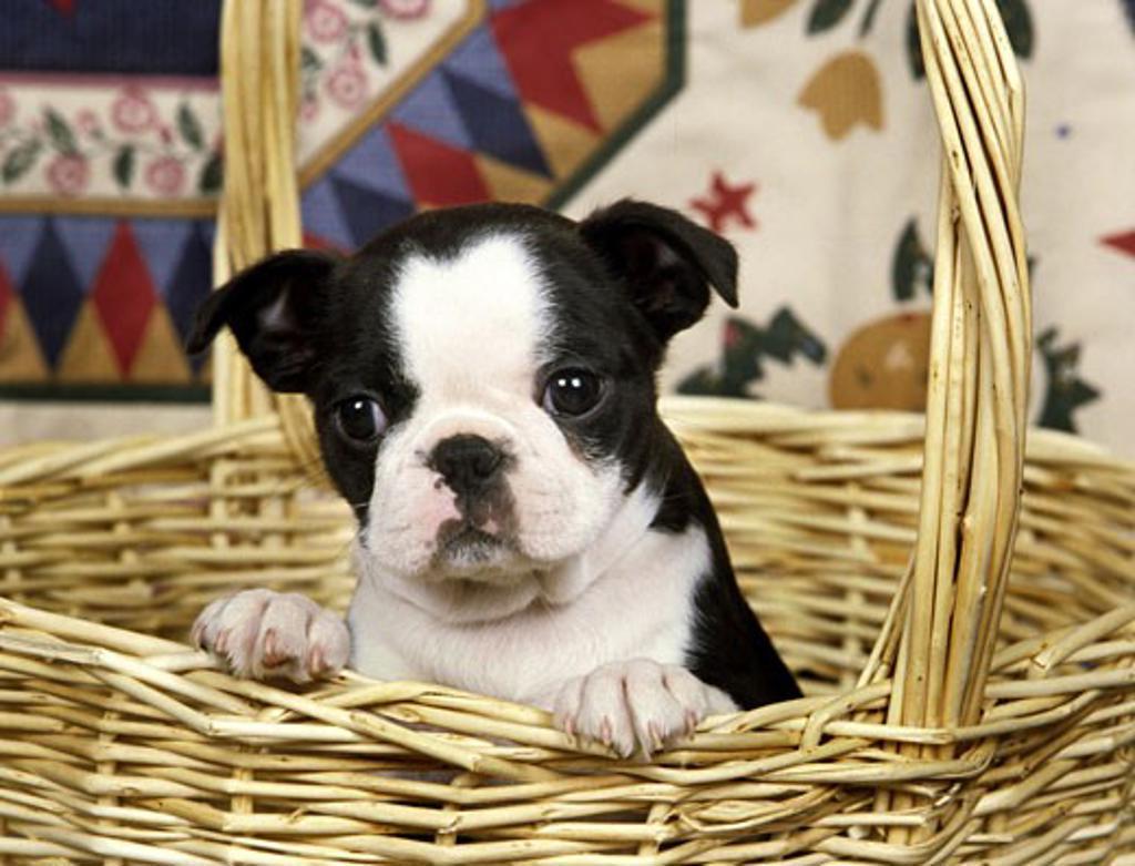 Stock Photo: 662-1931 Boston Terrier puppy in a wicker basket