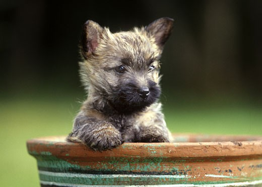Close-up of a Border Terrier in a flower pot : Stock Photo