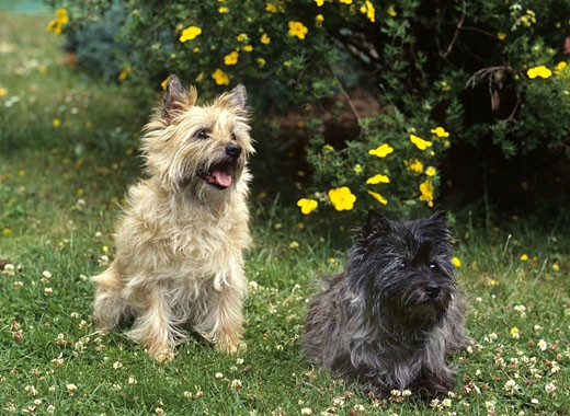 Two Border Terriers in a field : Stock Photo