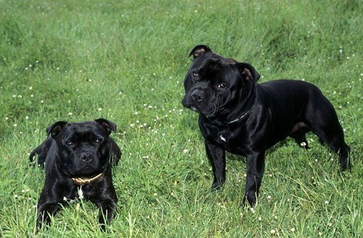 Stock Photo: 662-1990 Two Terriers in a field
