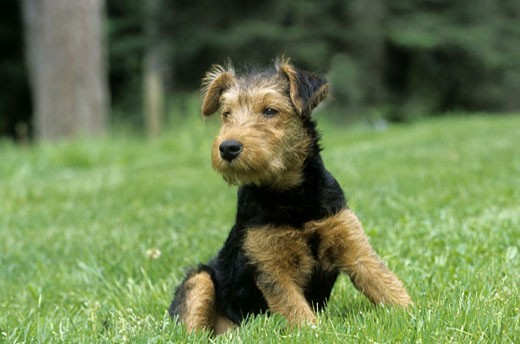 Yorkshire Terrier sitting in a field : Stock Photo
