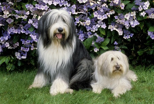 Two Bearded Collies : Stock Photo