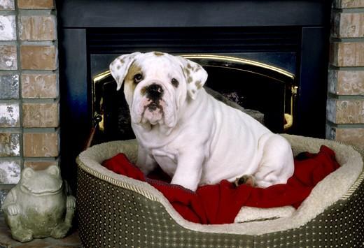 English Bulldog resting on a seat : Stock Photo
