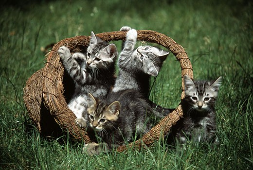 Kittens in a wooden basket : Stock Photo