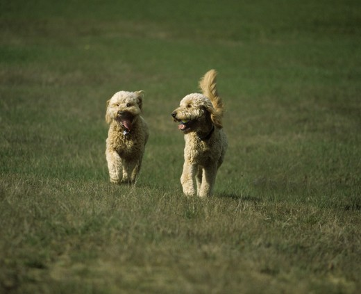 Two Goldendoodle puppies running in a lawn : Stock Photo