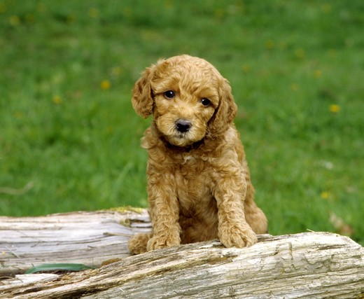 Close-up of a Labradoodle puppy : Stock Photo
