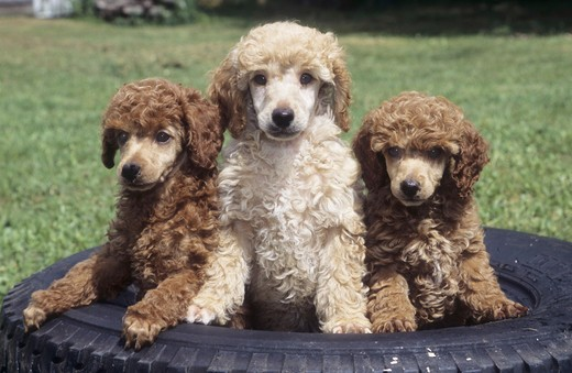 Stock Photo: 662-2158 Three Miniature poodles in a tire