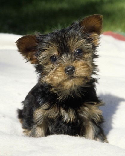 Stock Photo: 662-2238 Close-up of a Yorkshire terrier puppy