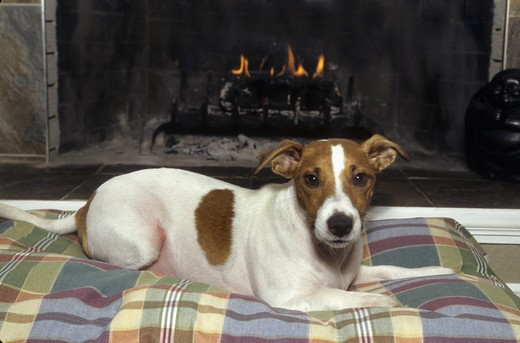 Stock Photo: 662-2249B Jack Russell terrier resting in front of a fireplace