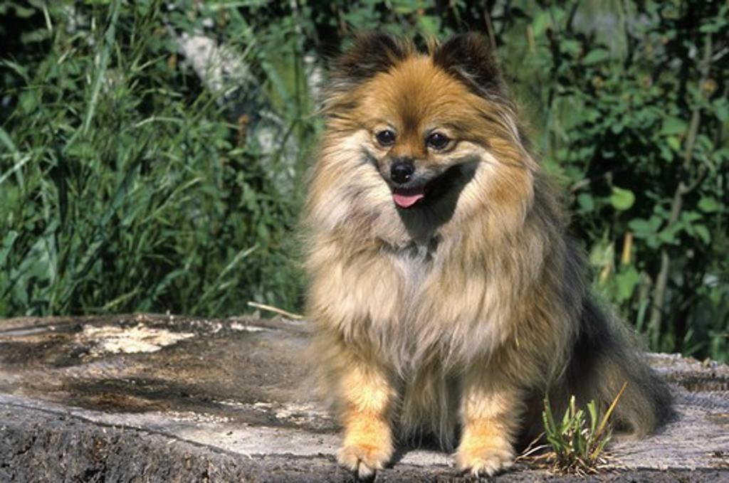 Stock Photo: 662-2257B Close-up of a Pomeranian dog sitting on a rock