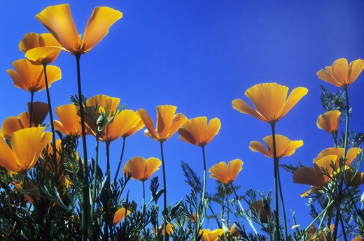 Low angle view of California poppies (Eschscholzia californica) blooming : Stock Photo