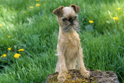 Brussels Griffon on stump : Stock Photo