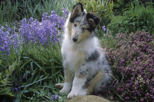 Stock Photo: 662-2421A Portrait of Collie pup