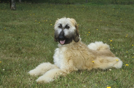 Afghan hound resting in a garden : Stock Photo