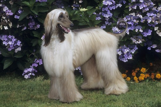 Afghan hound standing in a garden : Stock Photo