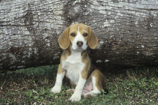 Stock Photo: 662-2497 Close-up of a Beagle sitting in a garden