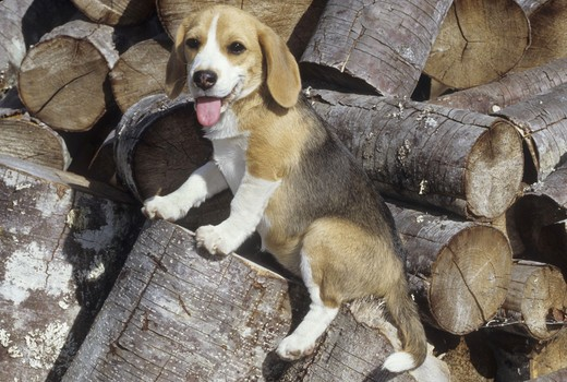 Stock Photo: 662-2499 Close-up of a Beagle sitting on a log