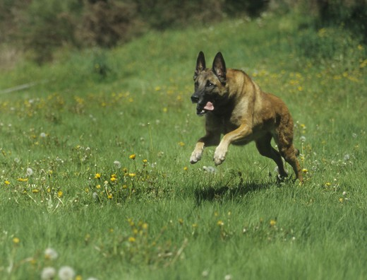 Stock Photo: 662-2507 Belgian Sheepdog running in a garden