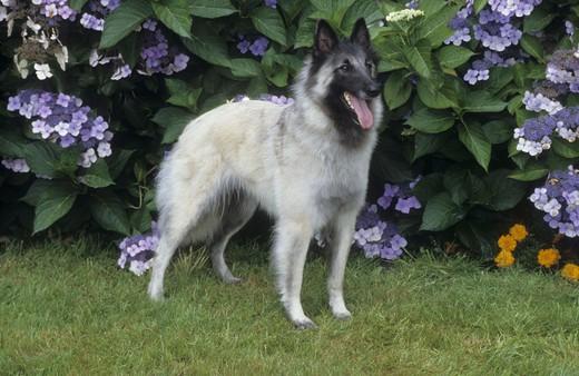 Belgian Sheepdog standing in a garden : Stock Photo