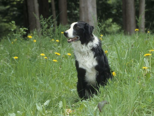 Stock Photo: 662-2526 Border Collie sitting on grass