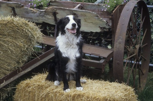 Stock Photo: 662-2528 Border Collie sitting on bale