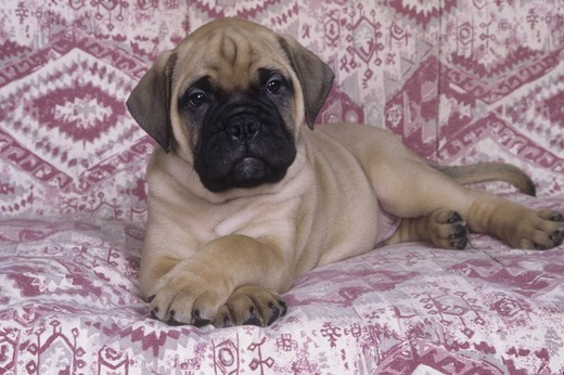 Stock Photo: 662-2533 Bull Mastiff puppy lying on sofa