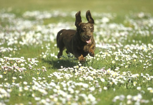 Stock Photo: 662-2545 Dachshund dog running in a field