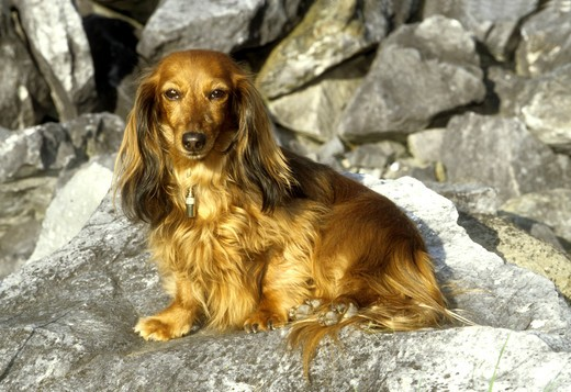 Stock Photo: 662-2550 Dachshund dog sitting on rock