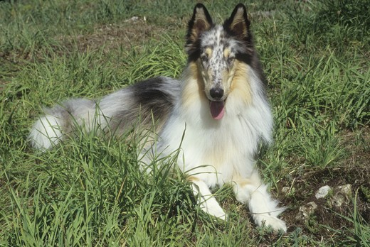 Rough coat collie dog resting in a field : Stock Photo