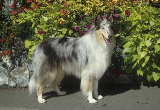 Stock Photo: 662-2577 Rough coat collie dog standing in a garden