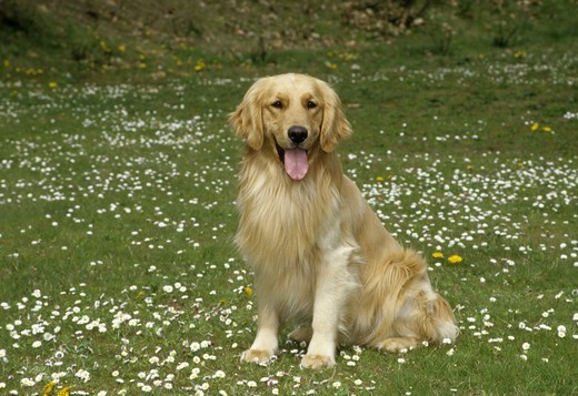 Stock Photo: 662-2621 Portrait of Golden retriever