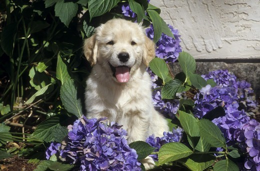 Stock Photo: 662-2623 Portrait of Golden retriever