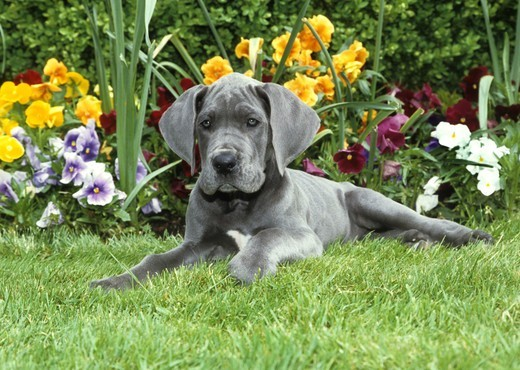 Stock Photo: 662-2636 Portrait of Great dane