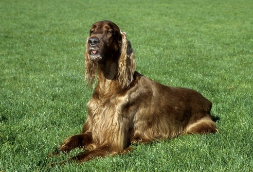 Stock Photo: 662-2658 Portrait of Irish setter