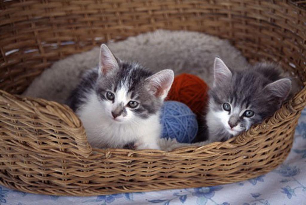 Stock Photo: 662-422 Two kittens in a wicker basket