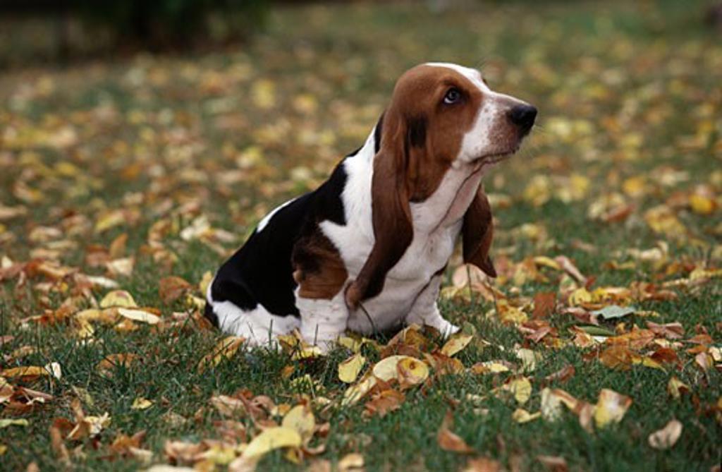 Stock Photo: 662-584B Basset Hound puppy sitting on grass