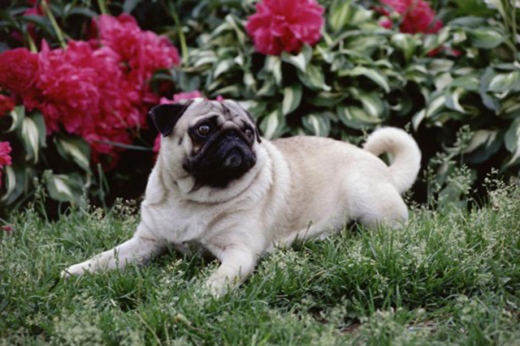 Pug : Stock Photo