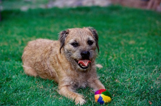 Stock Photo: 662-959 A Border Terrier lying on a lawn
