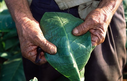 Stock Photo: 803-1157 Cuba, Vinales, Man holding Tobacco leaf