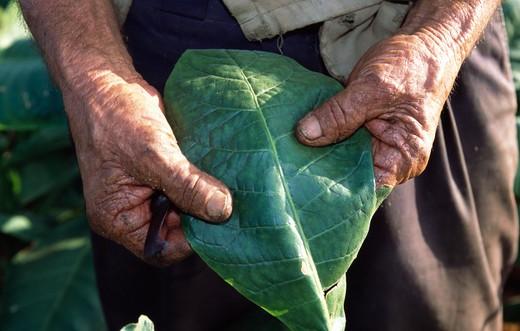 Cuba, Vinales, Man holding Tobacco leaf : Stock Photo