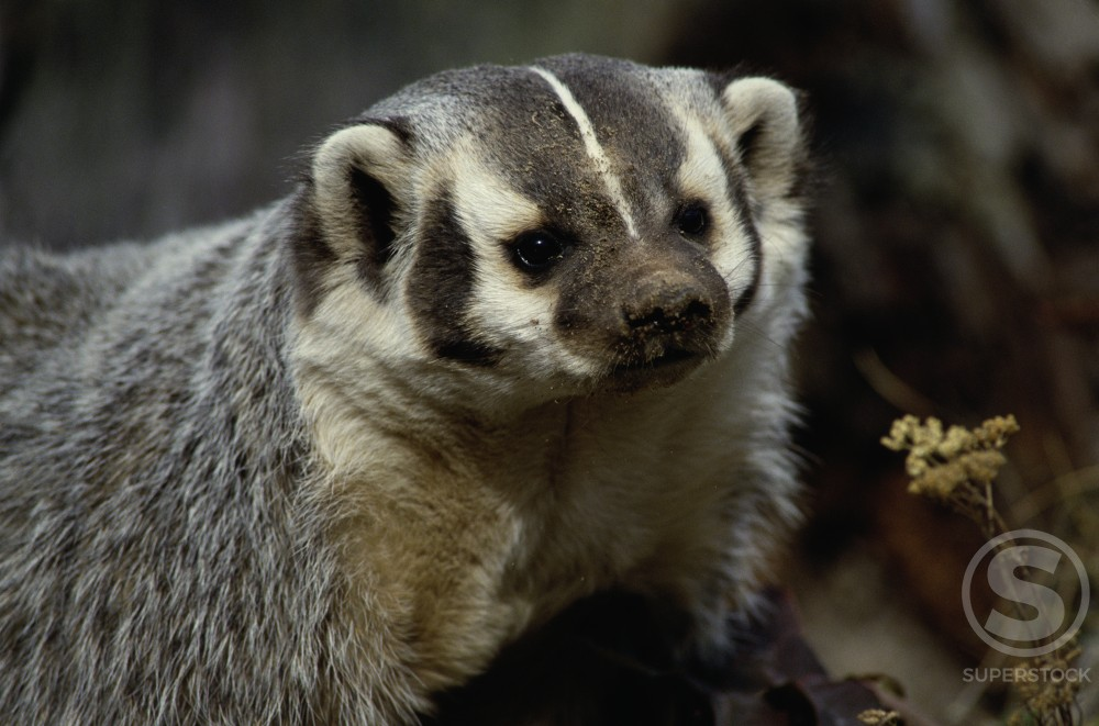 Close-up of a badger (Meles meles) : Stock Photo