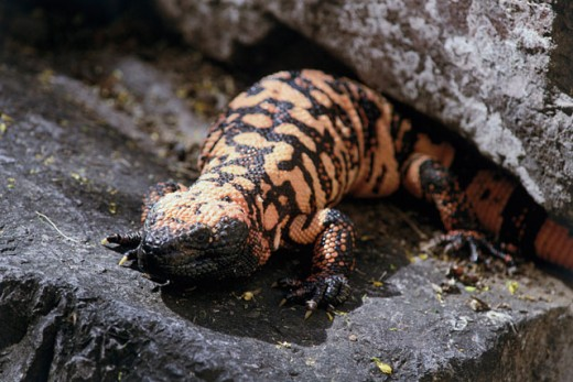 Stock Photo: 803-989A Gila Monster
