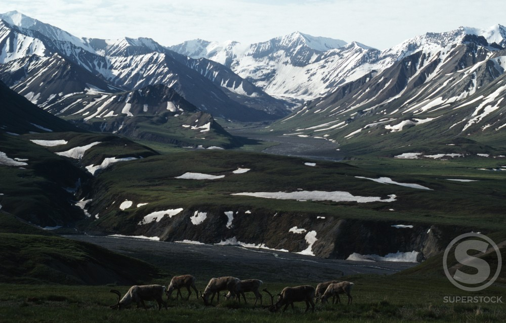 Stock Photo: 805-5554 USA,  Alaska,  grazing Caribou