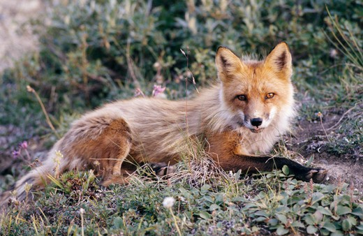 Red Fox lying on the grass in a forest, Denali National Park, Alaska, USA (Vulpes vulpes) : Stock Photo