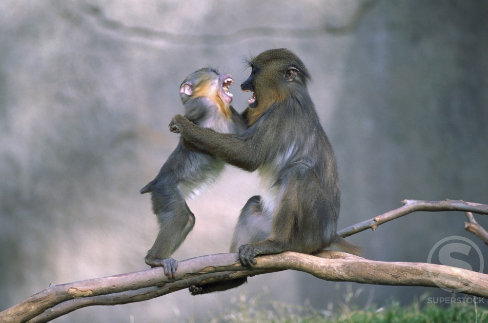 Stock Photo: 805-6218 Mandrill Baboons